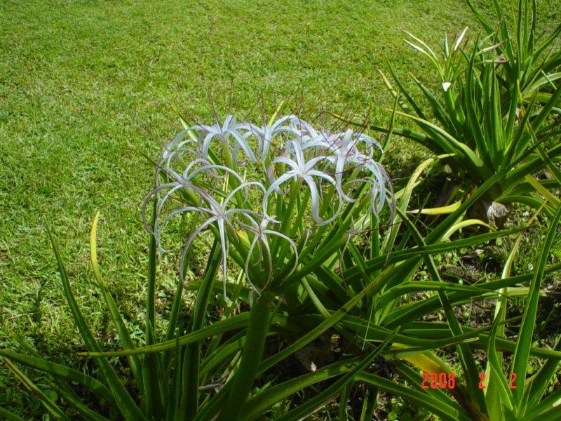 Crinum mauritianum l'introuvable  Dsc04014