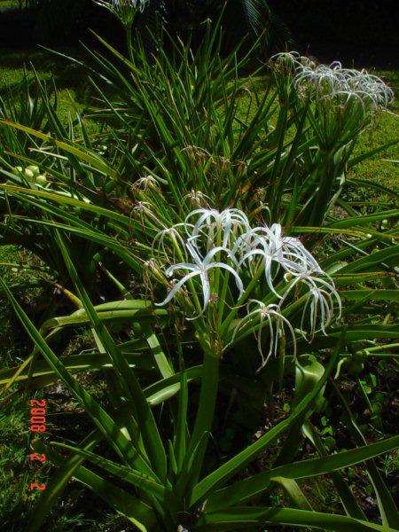 Crinum mauritianum l'introuvable  Dsc04015