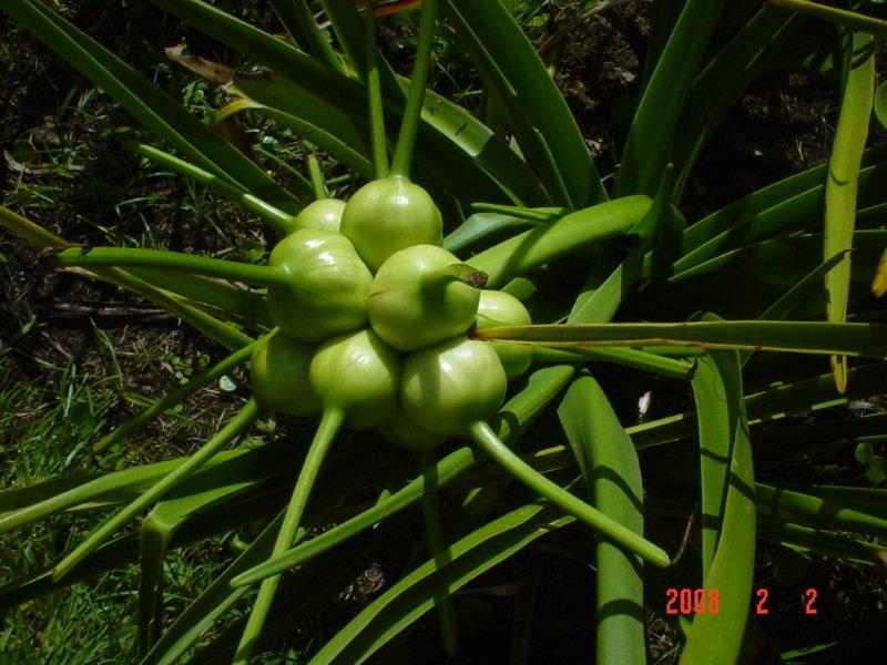 Crinum mauritianum l'introuvable  Dsc04016