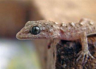 Encore un petit saurien ! (Cyrtodactylus kotschyi trouvé par Max) Ck10
