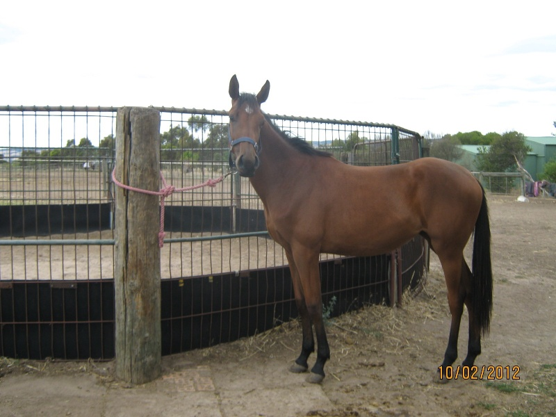 Lovely paintbred filly needs a new home Filly010
