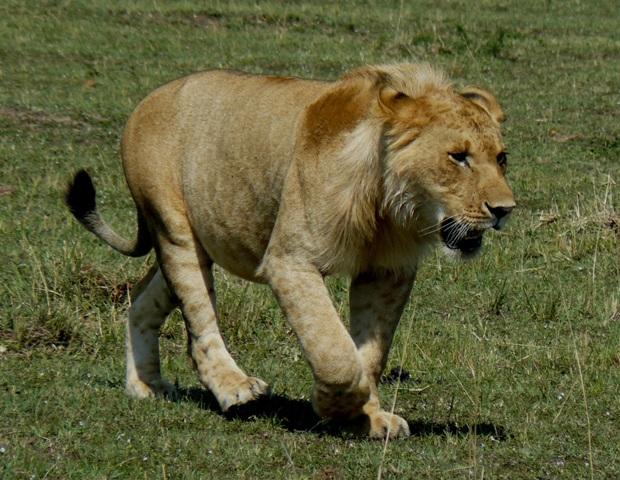 Lions - Masai Mara (Doogs) Lion_110