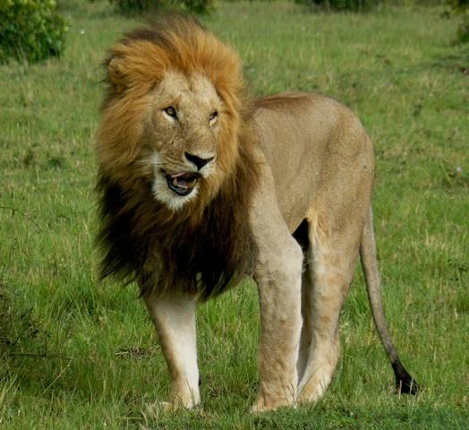 Lions - Masai Mara (Doogs) Lion_111