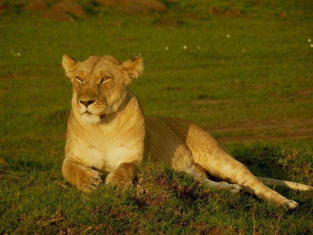 Lions - Masai Mara (Doogs) Lion_112