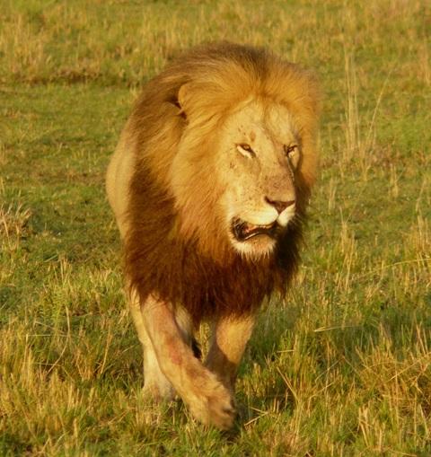 Lions - Masai Mara (Doogs) Lion_210