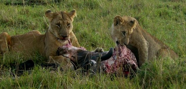 Lions - Masai Mara (Doogs) Lion_311