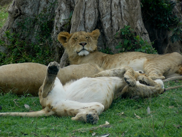 Lions - Masai Mara (Doogs) Lion_410