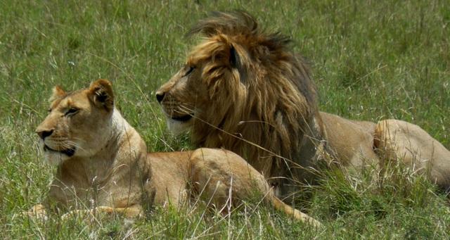 Lions - Masai Mara (Doogs) Lion_610