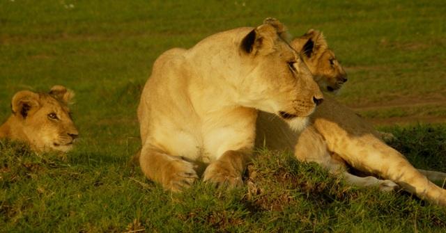 Lions - Masai Mara (Doogs) Lion_710