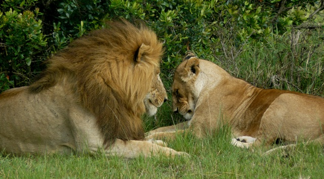Lions - Masai Mara (Doogs) Lion_910