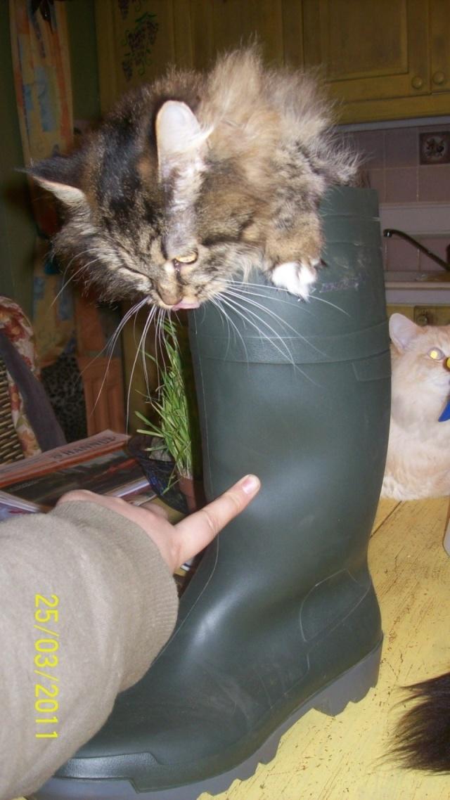 créer un forum : Chatterie Daryazur - chats sibéri - Portail Faina_10