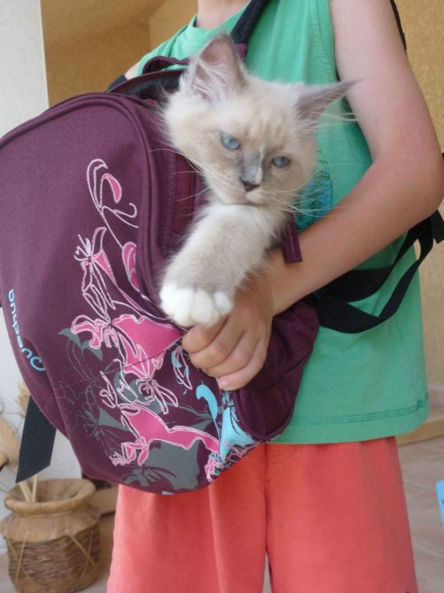 créer un forum : Chatterie Daryazur - chats sibéri - Portail Sac-a-10