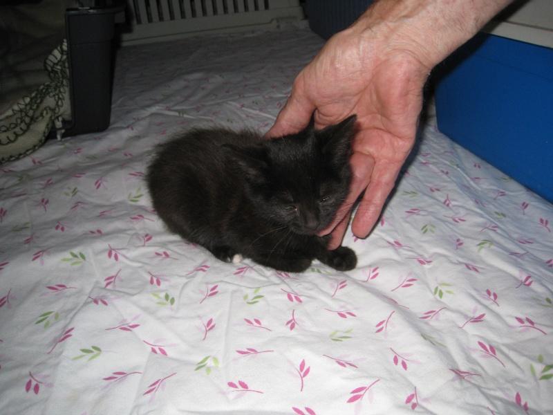 PRUNELLE - 6 mois - Femelle noir & plastron + bout des pattes blanc Img_2729