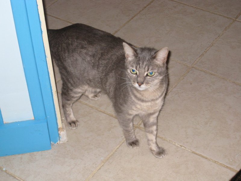 ASHES - 1,5 an - Femelle tigrée grise Img_3420