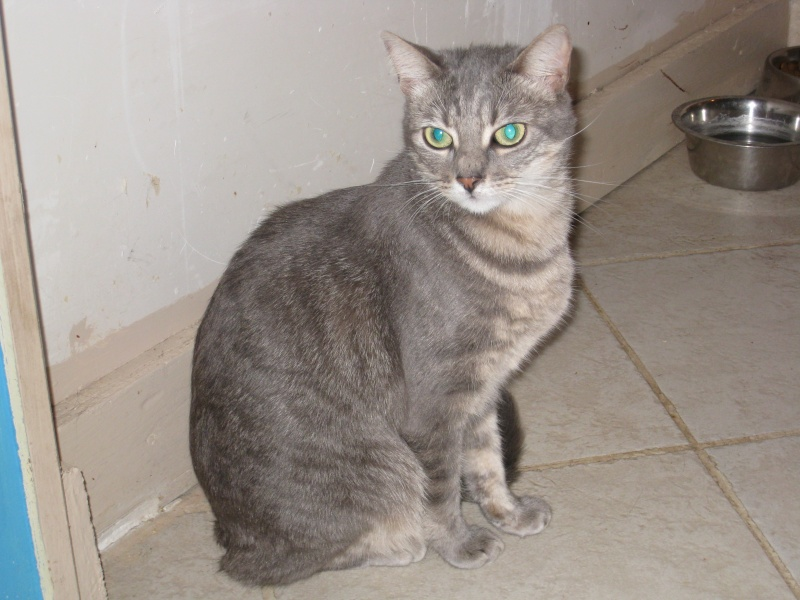 ASHES - 1,5 an - Femelle tigrée grise Img_3421