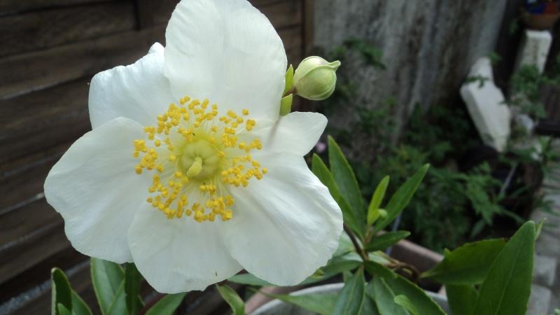 carpentaria en fleur Dsc00111