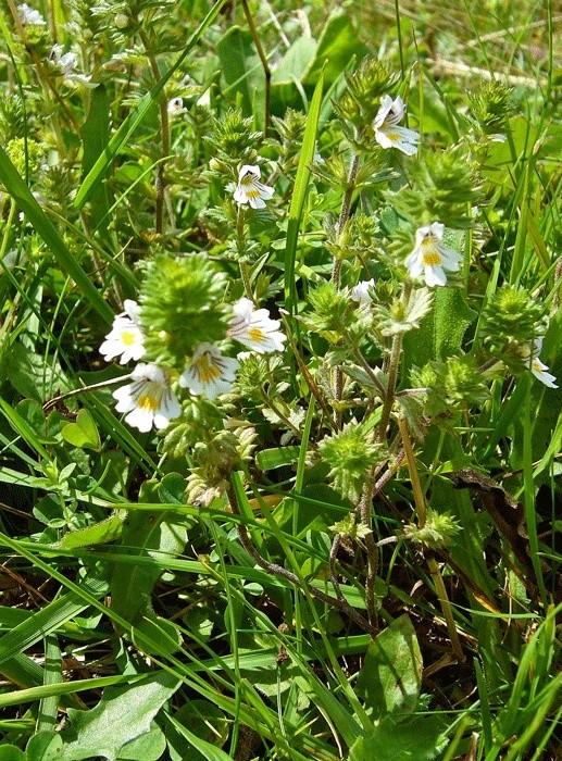 deux plantes de Panský diel (Šachtičky, Basses Tatras, Slovaquie) P1200811