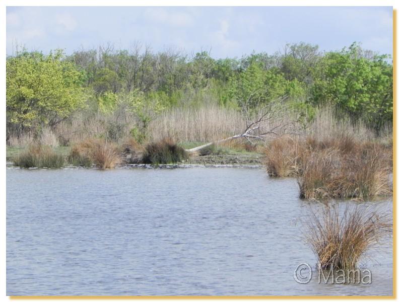 La Camargue, biotope naturel et Cistudes Camarg11