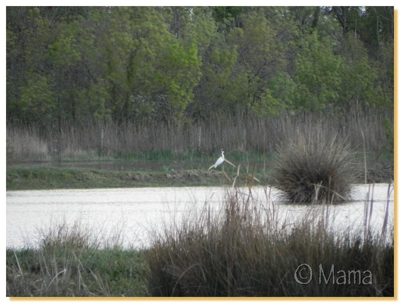 La Camargue, biotope naturel et Cistudes Camarg15