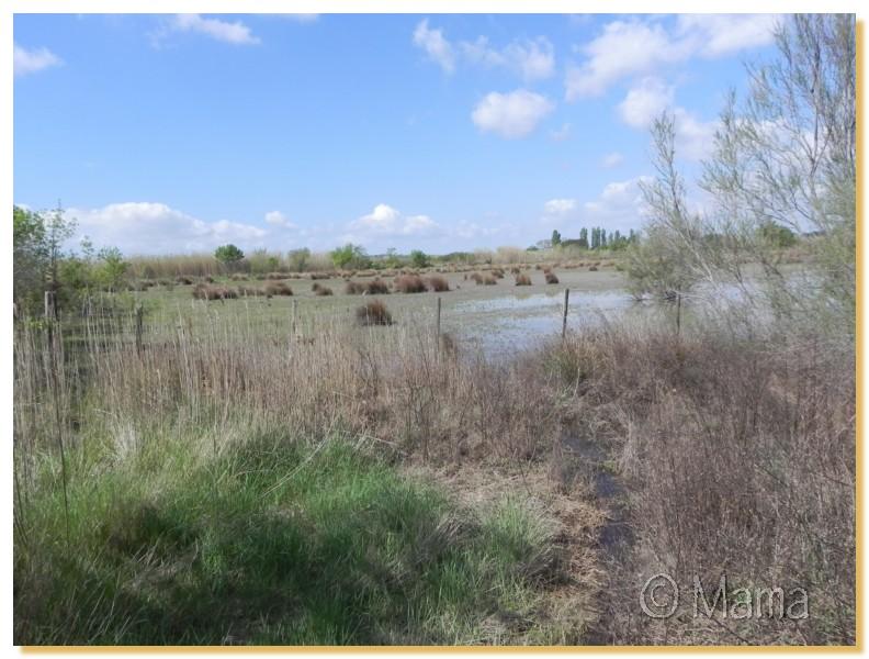 La Camargue, biotope naturel et Cistudes Camarg18