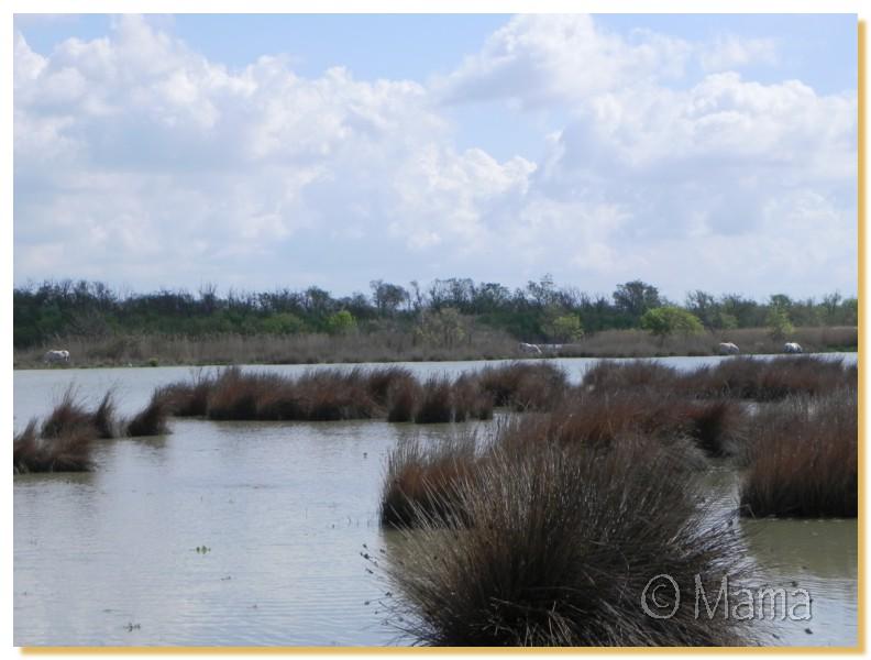 La Camargue, biotope naturel et Cistudes Camarg20