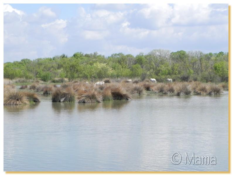 La Camargue, biotope naturel et Cistudes Camarg21
