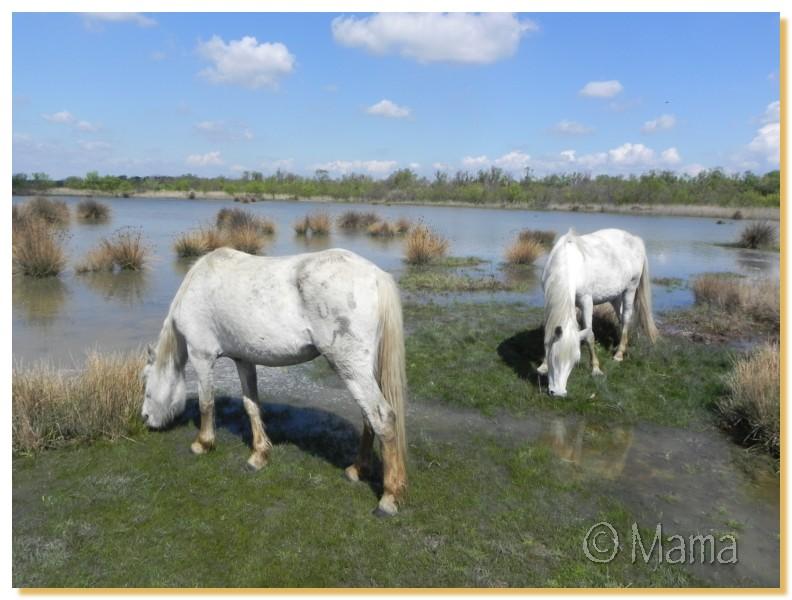 La Camargue, biotope naturel et Cistudes Camarg28