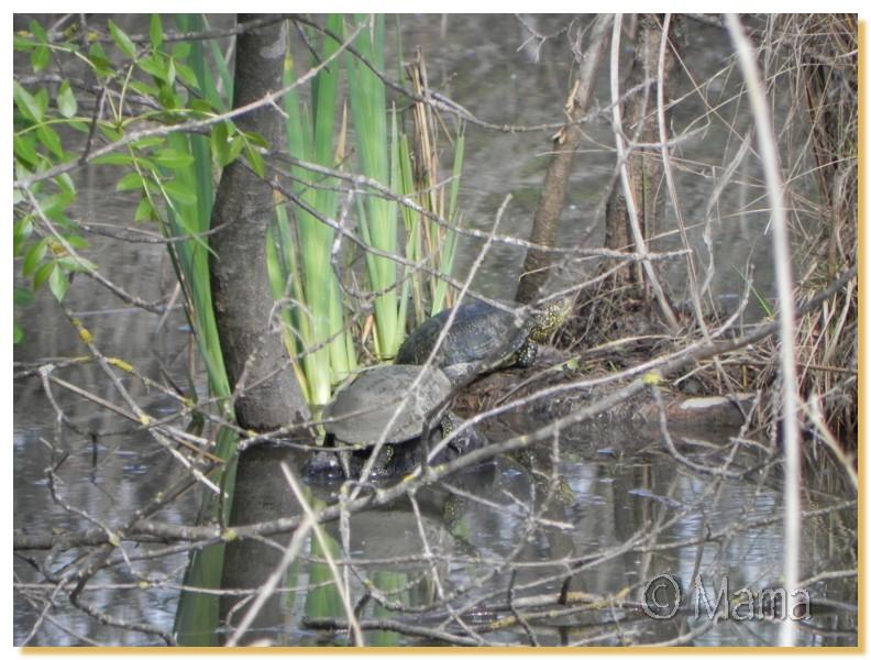 La Camargue, biotope naturel et Cistudes Camarg33