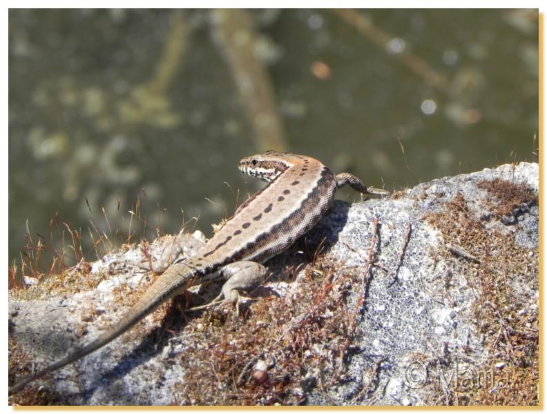 La Camargue, biotope naturel et Cistudes Camarg35