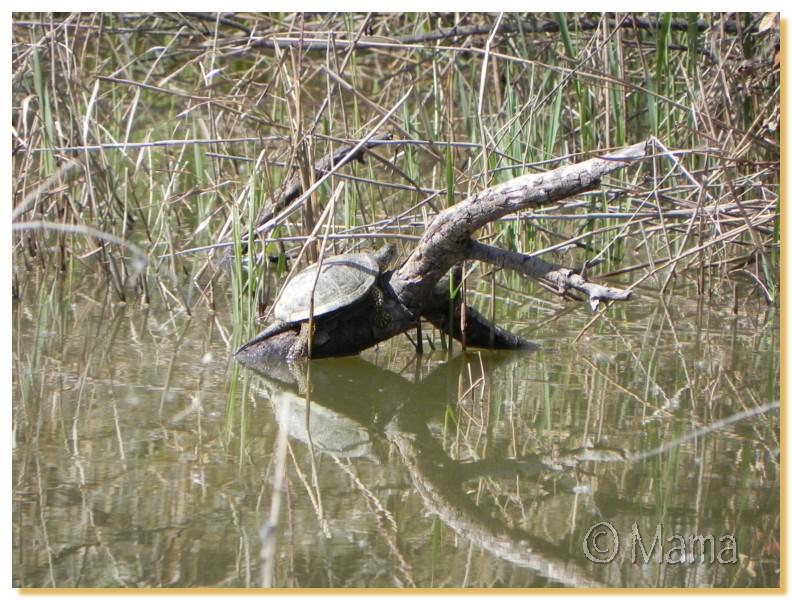 La Camargue, biotope naturel et Cistudes Camarg39