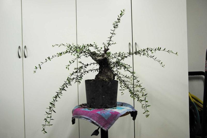 "Quercus ilex ""Vulcano"". - Pagina 2 F2550211"