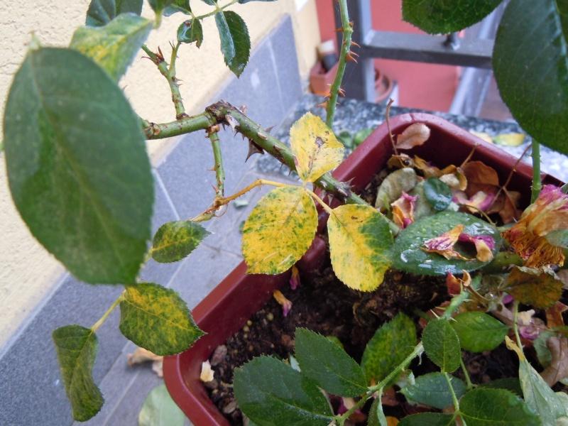 Problema foglie P.Tomentosa Foglia10