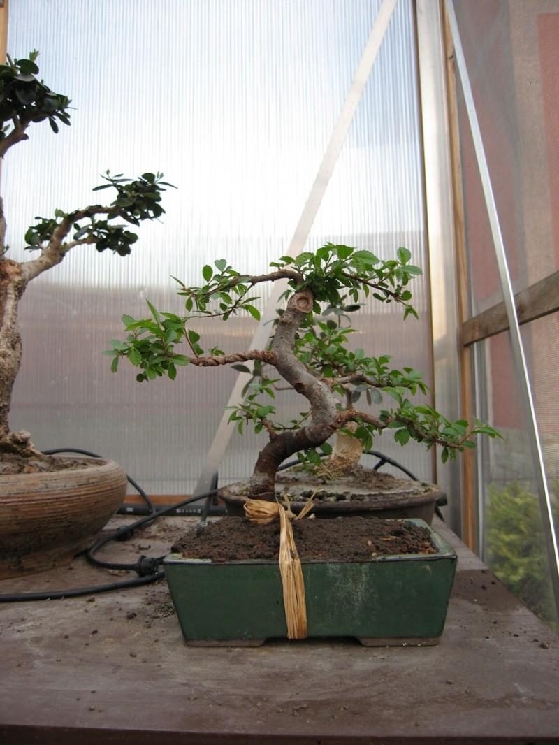 Ulmus Parvifolia (Olmo Cinese) - Anlaids Img_1910