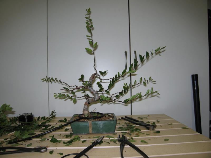 Ulmus Parvifolia (Olmo Cinese) - Anlaids Img_2417