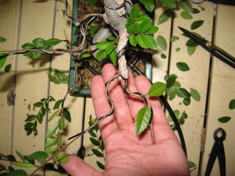 Ulmus Parvifolia (Olmo Cinese) - Anlaids Img_2418