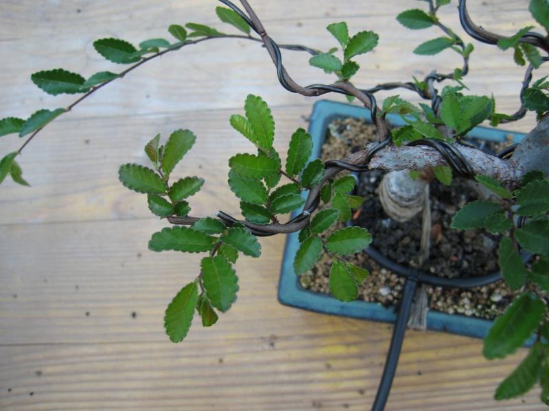 Ulmus Parvifolia (Olmo Cinese) - Anlaids Img_2612