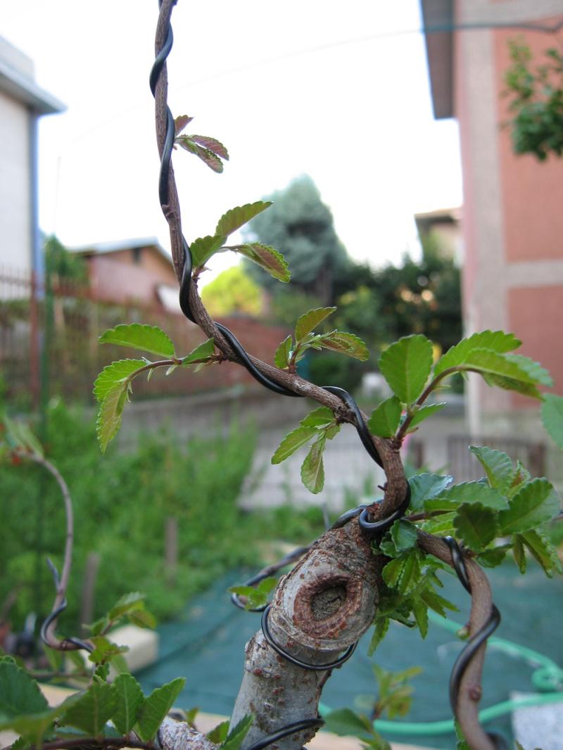 Ulmus Parvifolia (Olmo Cinese) - Anlaids Img_2613