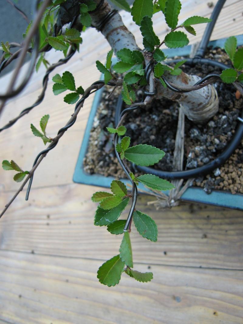 Ulmus Parvifolia (Olmo Cinese) - Anlaids Img_2614