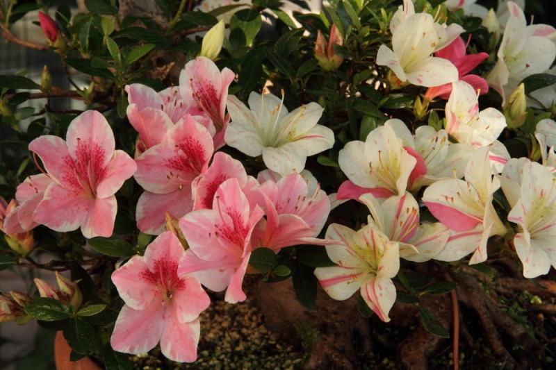 fioriture azalee 2012 Img_1020