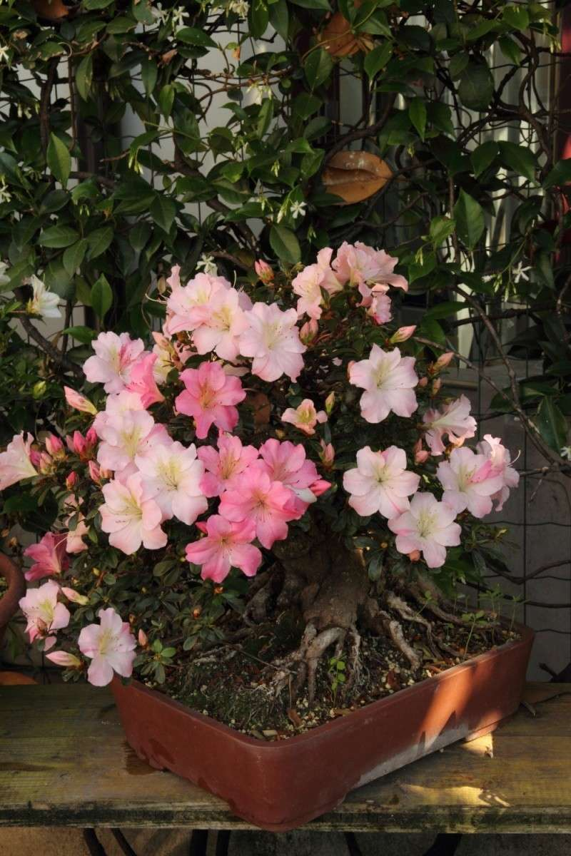 fioriture azalee 2012 Img_1022