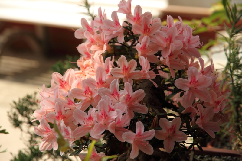 fioriture azalee 2012 Img_1023