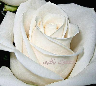 في روحك  وردة لمن   ترسل عطرها  / إهداء  لمن تحب بلغة الورد 12437611