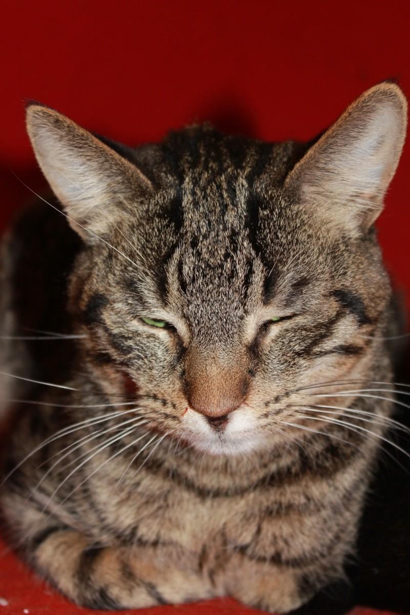 37 chats attendent toujours leur famille au refuge! ( euh non 7) Bengal13