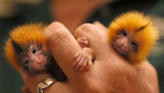 Le singe de doigt !!! Finger10