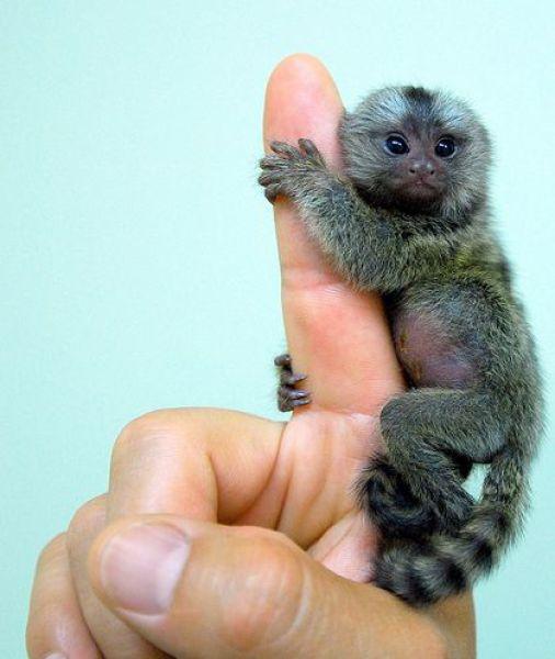 Le singe de doigt !!! Finger12