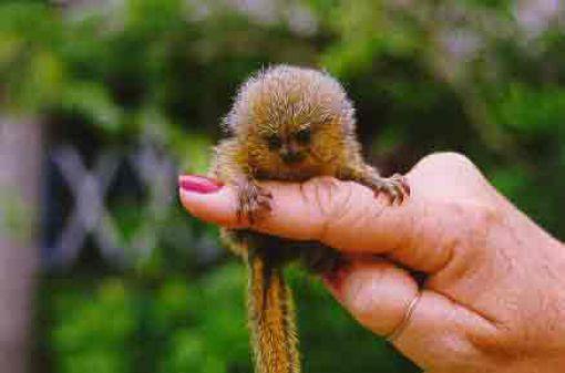 Le singe de doigt !!! Finger13