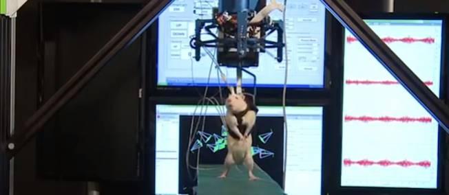 Des rats remarchent  Clip_i10