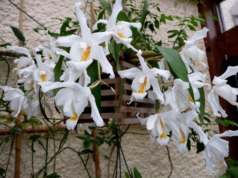 Coelogyne cristata 03-03-14