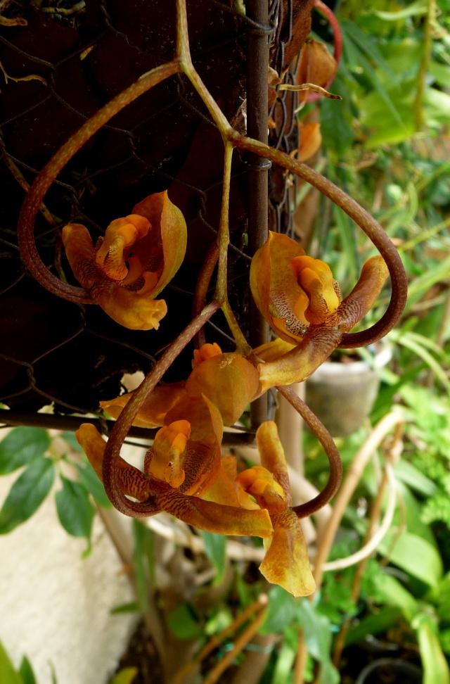 Gongora galeata 04-07-17