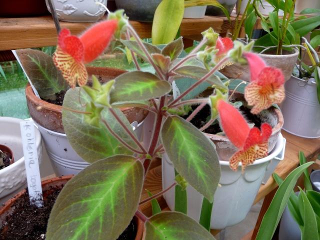 Kohleria - genre, espèces et variétés 09-06-13